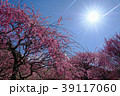 梅 太陽 満開の写真 39117060