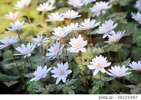 ユキワリイチゲの花 39121497
