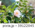 椿の花 天津乙女 39122045