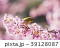 桜にメジロ 39128087