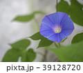 朝顔 植物 夏の写真 39128720