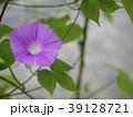 朝顔 植物 夏の写真 39128721