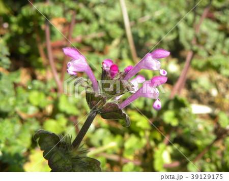 道端に咲くホトケノザの紫色の花 39129175