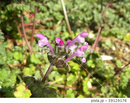 道端に咲くホトケノザの紫色の花 39129176