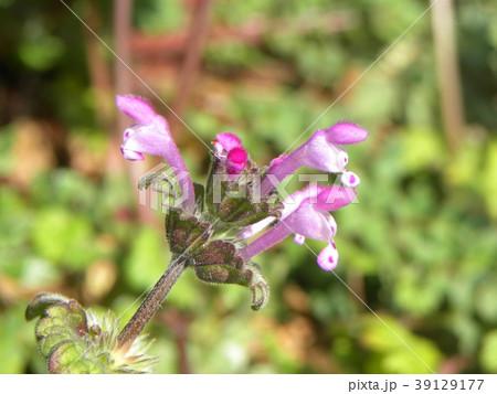道端に咲くホトケノザの紫色の花 39129177