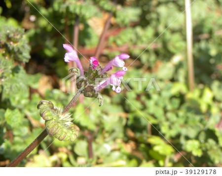 道端に咲くホトケノザの紫色の花 39129178