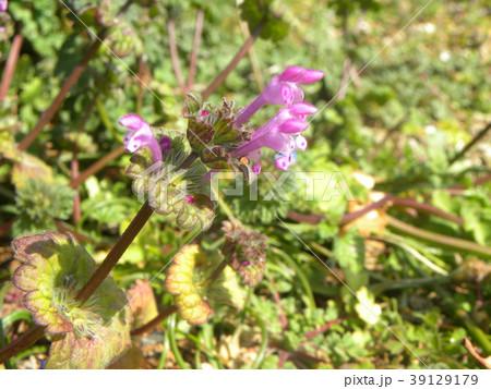 道端に咲くホトケノザの紫色の花 39129179