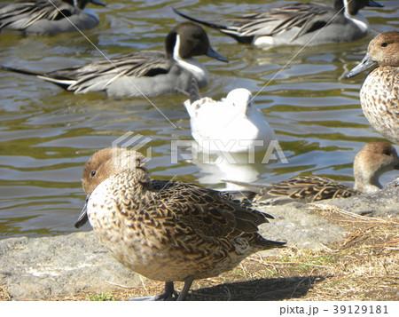 もう直ぐ帰る冬の渡り鳥オナガガモ 39129181