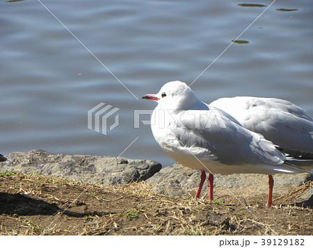 冬の渡り鳥ユリカモメ 39129182