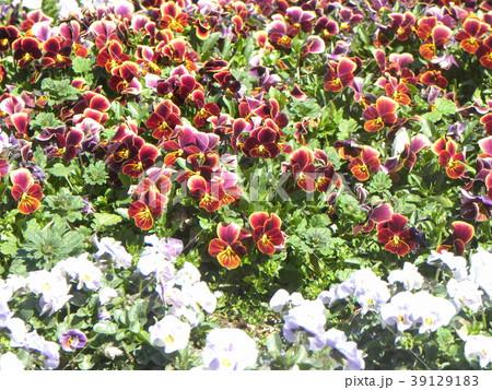 色々な色のビオラが綺麗です 39129183