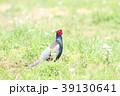 キジ 野鳥 鳥の写真 39130641