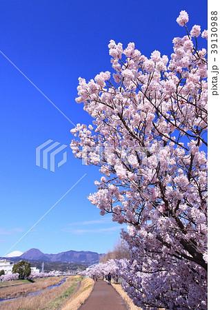 川沿いの土手の桜並木 39130988