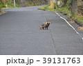 迷い出たタヌキ(鹿児島肝属郡南大隅町) 39131763