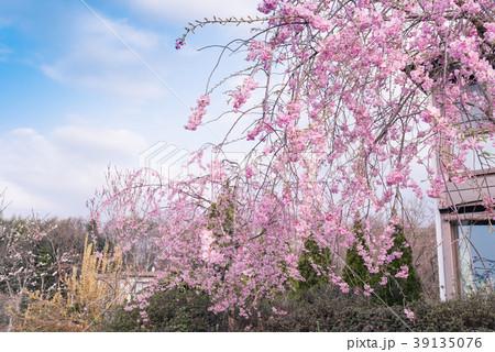 枝垂桜 39135076