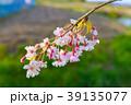 花 桜 春の写真 39135077