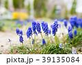 ブドウヒアシンス 春 植物の写真 39135084