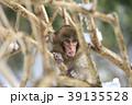 日本猿 猿 冬の写真 39135528