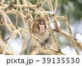 日本猿 猿 冬の写真 39135530