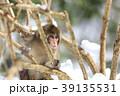 日本猿 猿 冬の写真 39135531