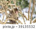 日本猿 猿 冬の写真 39135532