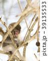 日本猿 猿 冬の写真 39135533
