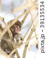 日本猿 猿 冬の写真 39135534