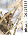 日本猿 猿 冬の写真 39135535