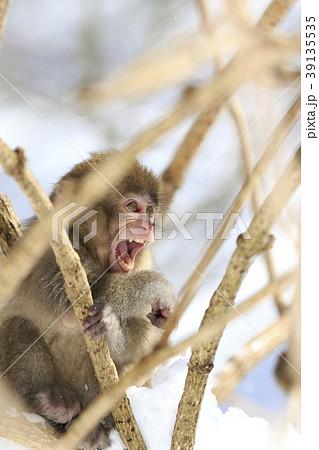 猿 39135535