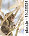 日本猿 猿 冬の写真 39135536