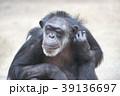 チンパンジー 霊長類 哺乳類の写真 39136697