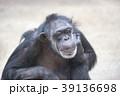 チンパンジー 霊長類 哺乳類の写真 39136698