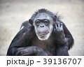チンパンジー 霊長類 哺乳類の写真 39136707