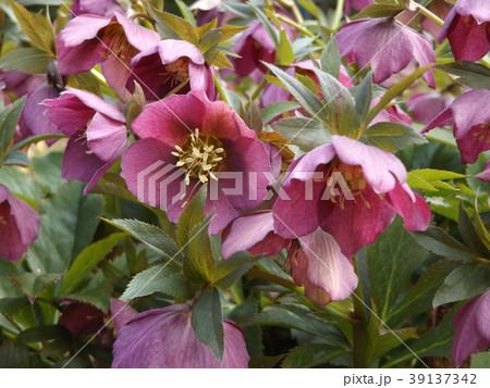 なぜか下を向いて咲くゴージャスな花はクリスマスローズの花 39137342