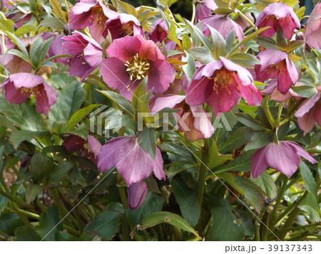なぜか下を向いて咲くゴージャスな花はクリスマスローズの花 39137343