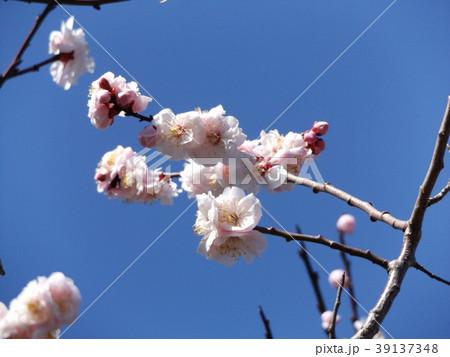 一寸遅く咲く我が家の白色のウメの花 39137348