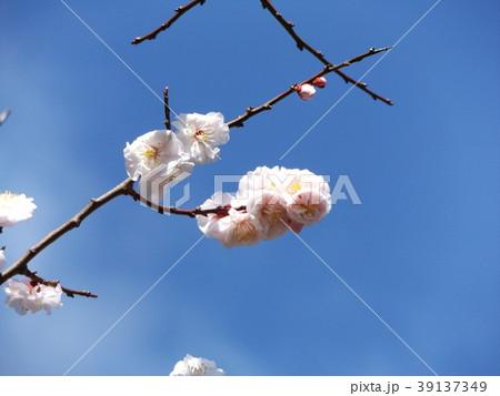 一寸遅く咲く我が家の白色のウメの花 39137349