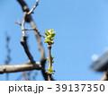 カリン 若葉 春の写真 39137350