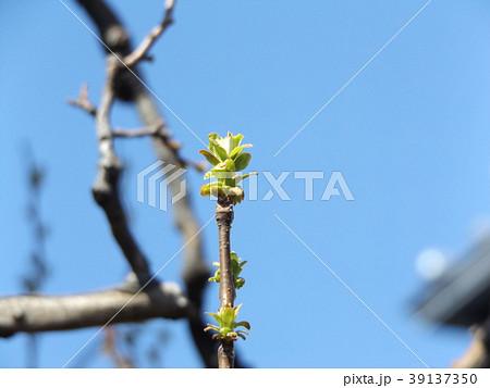 黄緑色の若葉が育つカリンの木 39137350