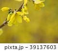 レンギョウ モクセイ科 花の写真 39137603
