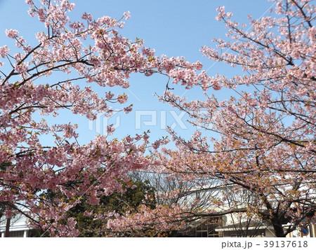 三分葉桜になったカワヅザクラ 39137618