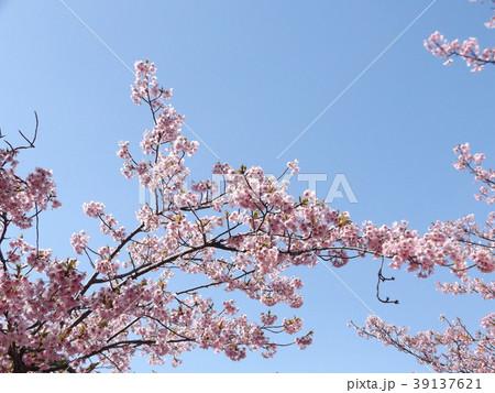 三分葉桜になったカワヅザクラ 39137621