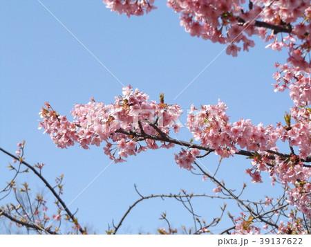 三分葉桜になったカワヅザクラ 39137622