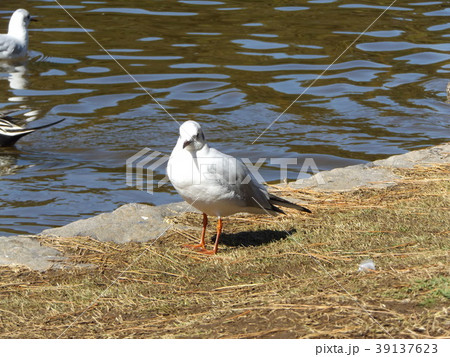 稲毛海浜公園の池に来た冬の渡り鳥ユリカモメ 39137623