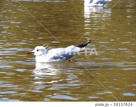 稲毛海浜公園の池に来た冬の渡り鳥ユリカモメ 39137624