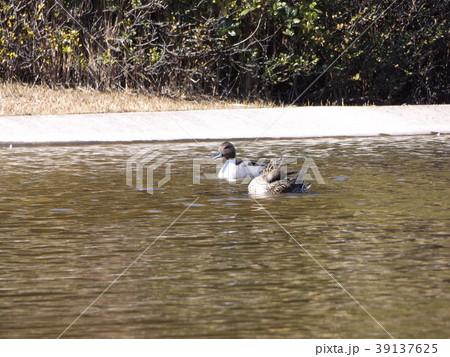 稲毛海浜公園の池に来た冬の渡り鳥オナガガモ 39137625