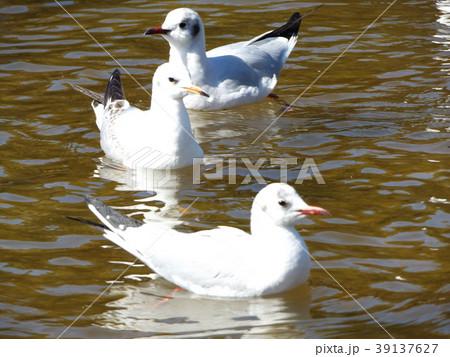 稲毛海浜公園の池に来た冬の渡り鳥ユリカモメ 39137627