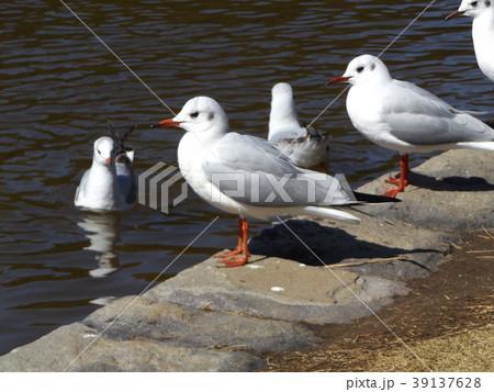 稲毛海浜公園の池に来た冬の渡り鳥ユリカモメ 39137628