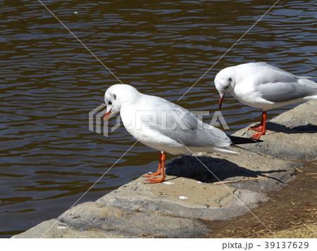 稲毛海浜公園の池に来た冬の渡り鳥ユリカモメ 39137629