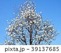 モクレン ハクモクレン 花の写真 39137685