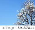 モクレン ハクモクレン 花の写真 39137811